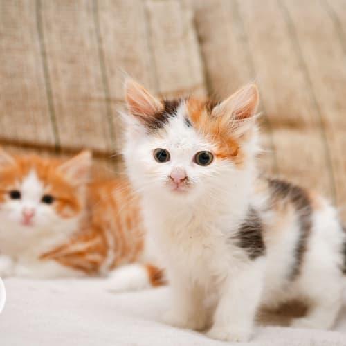 Iris - Domestic Long Hair Cat