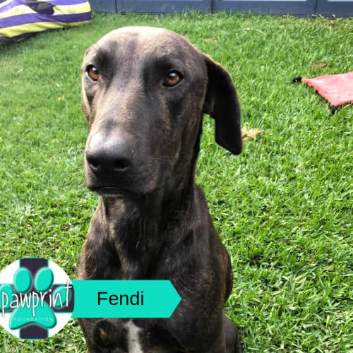 Fendi - Bull Arab x Great Dane Dog