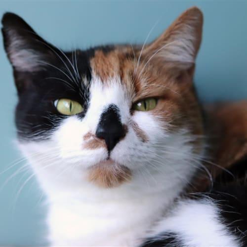 Galaxy - Domestic Short Hair Cat