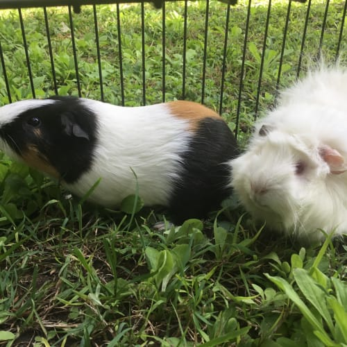 Versace and Kelly -  Guinea Pig