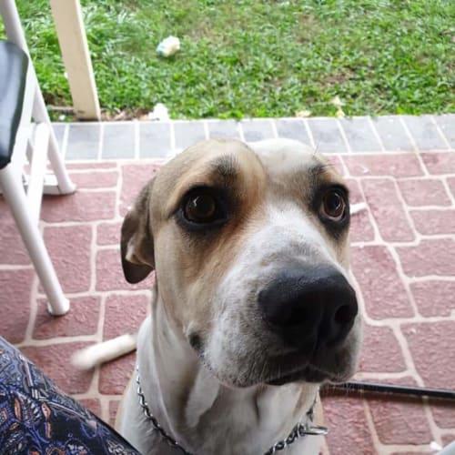 Titan - Mastiff Dog