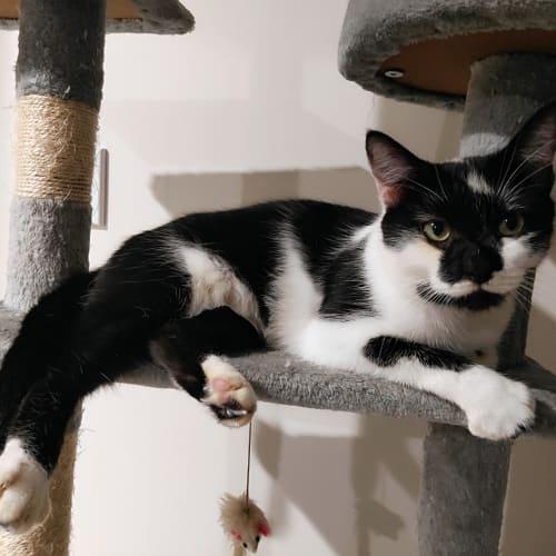 Nani - Domestic Short Hair Cat