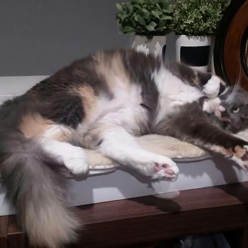 Thea - Domestic Medium Hair Cat