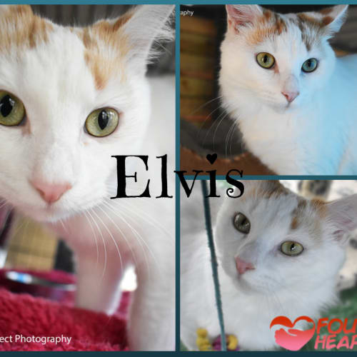 Elvis - Turkish Van Cat
