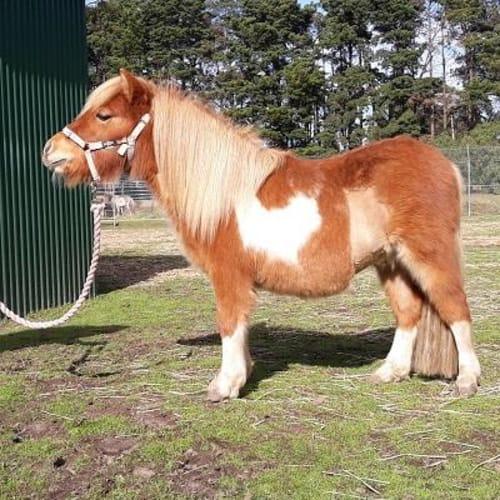 Heartthrob  909337 -  Horse