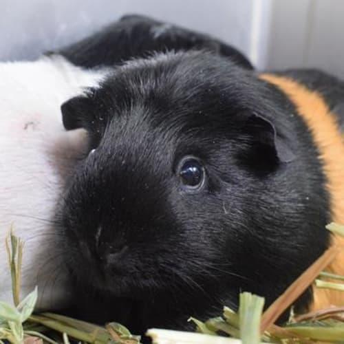 Percy  916220 - Guinea Pig