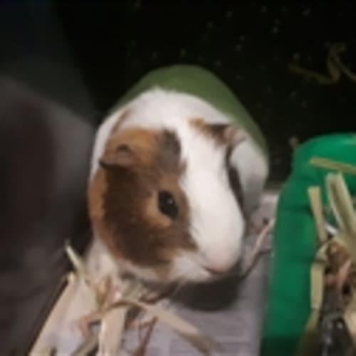 Bug  916782 - Smooth Hair Guinea Pig