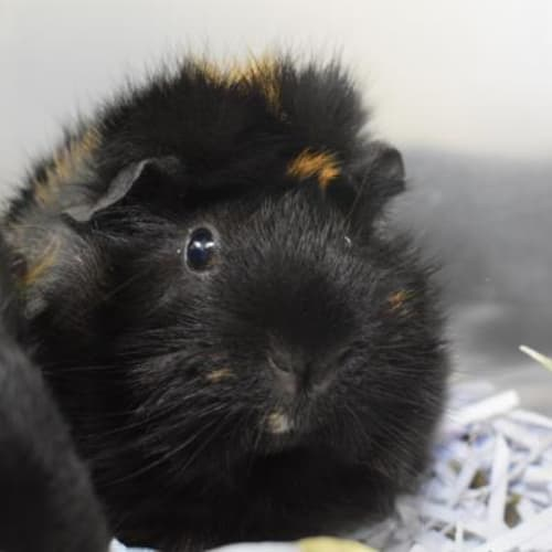 Mamma G  896789 - Abyssinian Guinea Pig