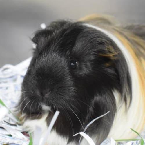 Pom Pom  901540 - Abyssinian Guinea Pig
