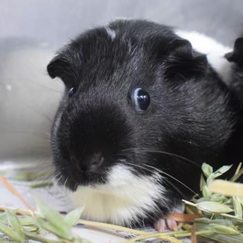 Trixie  916221 - Smooth Hair Guinea Pig