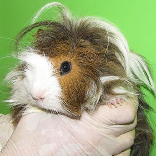 Mo  913373 - Abyssinian Guinea Pig