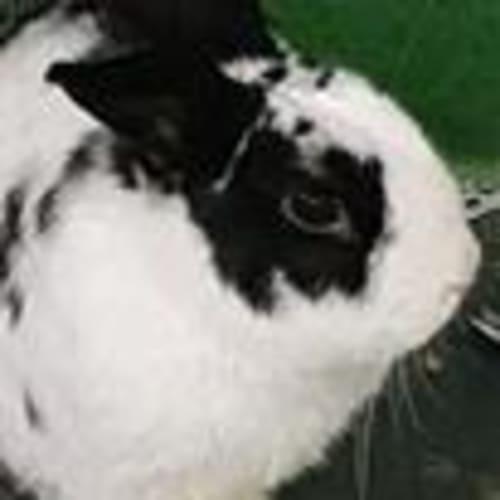 Oreo  919175 - Domestic Rabbit