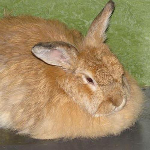 Alani  915687 - Domestic Rabbit