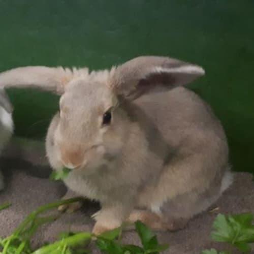 Kitkat  910562 - Domestic Rabbit
