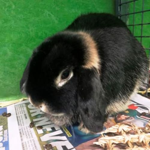 Axelia  918654 - Lop Eared Rabbit