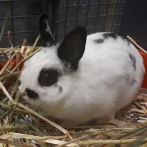 Leonie  910458 - Netherland Dwarf Rabbit