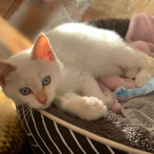 Archie - Ragdoll Cat