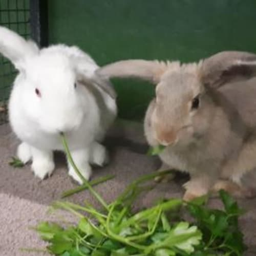 Star  910560 - Domestic Rabbit