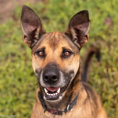 Harley Wainwright - German Shepherd Dog