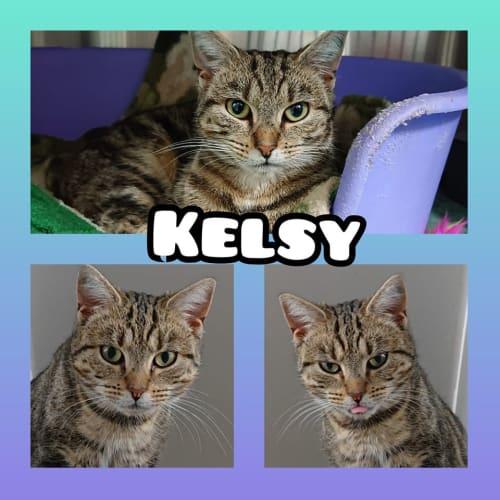 Kelsy - Domestic Short Hair Cat