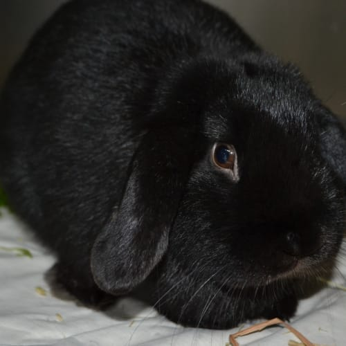 Peter - Dwarf lop Rabbit