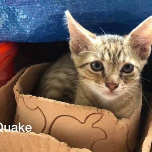 Quake - Domestic Short Hair Cat