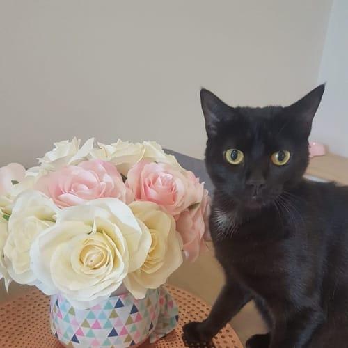Crumb - Domestic Short Hair Cat