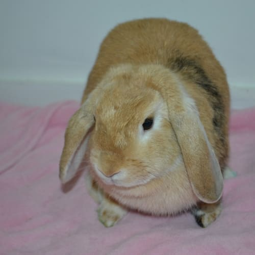 Biscuit - Dwarf lop Rabbit