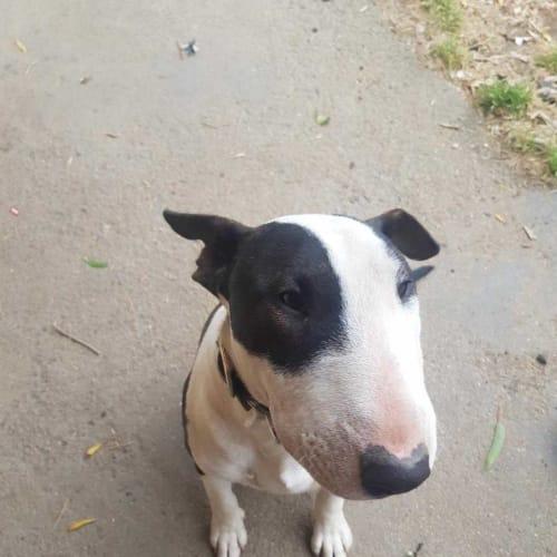 Bullet - foster carer needed - Bull Terrier Dog
