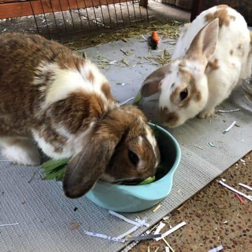 Calvin and Fitzy - Dwarf lop Rabbit