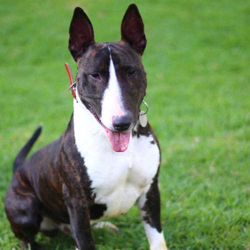Murphy - foster carer needed - Bull Terrier Dog