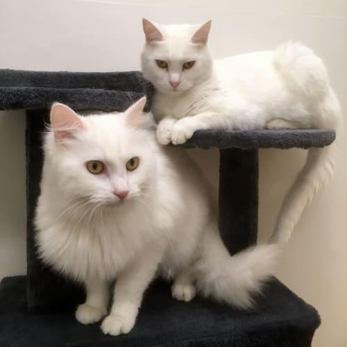 Kimba & Casper - Domestic Short Hair Cat