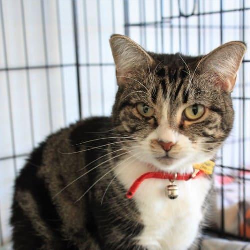 Bron - Domestic Short Hair Cat