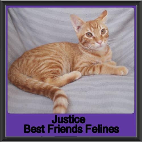 Justice  - Domestic Short Hair Cat