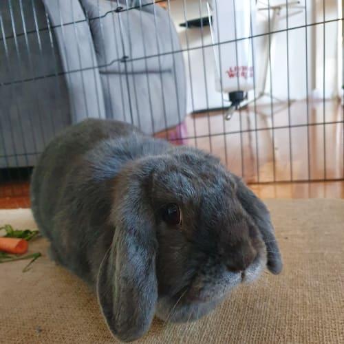 Norma - Dwarf lop Rabbit