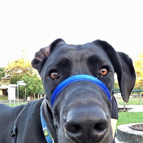 Hodor - Great Dane Dog