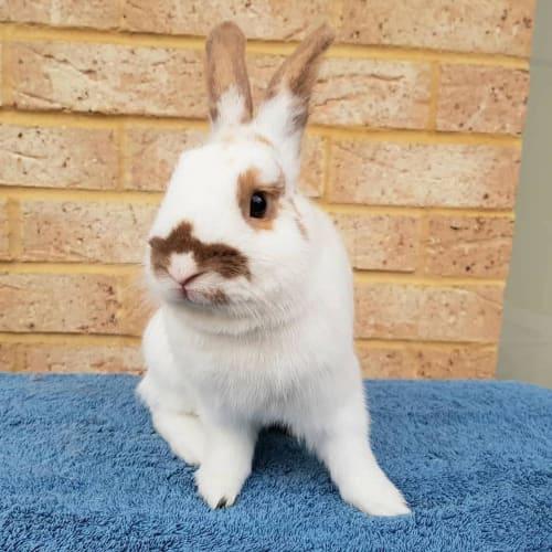 Spencer - Netherland Dwarf Rabbit