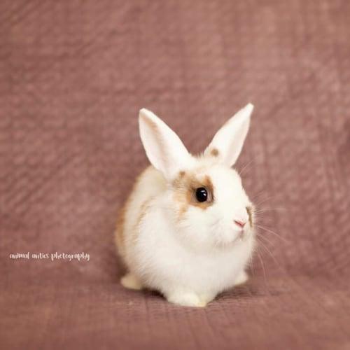 Aria - Domestic Rabbit