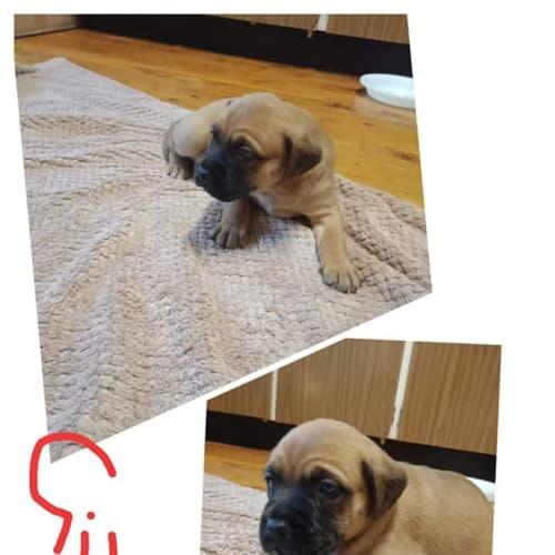 Chelsea - Belgian Shepherd - Malinois x Bullmastiff Dog