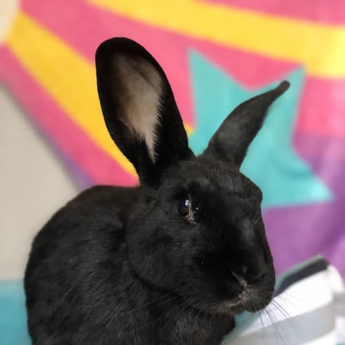 Kira - Flemish Giant Rabbit
