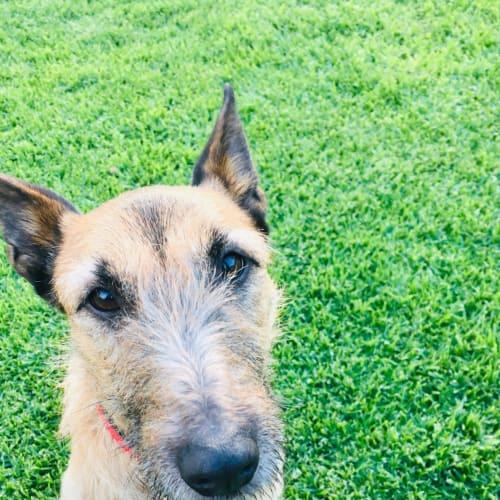 Dana  - Border Terrier Dog