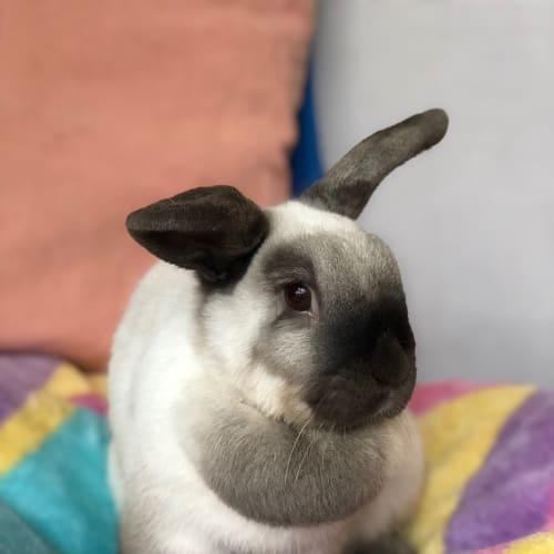 Jess  - Domestic Rabbit