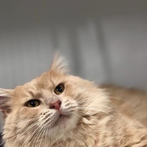 Rusti - Domestic Medium Hair Cat