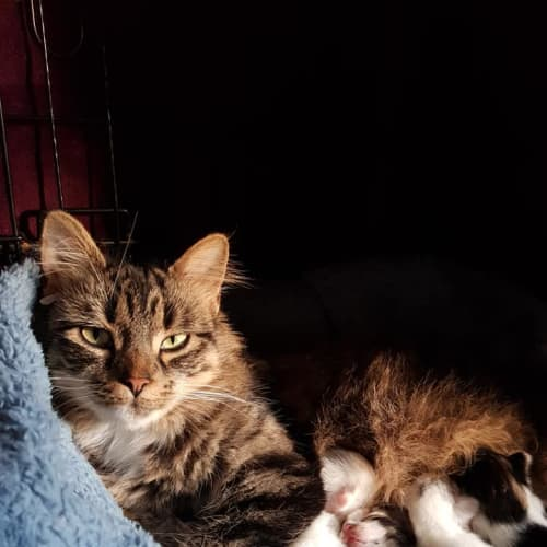 Mama Cass - Domestic Medium Hair Cat