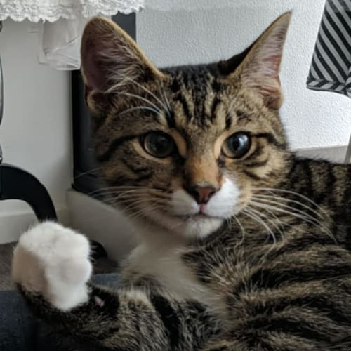 Leppington - Domestic Short Hair Cat