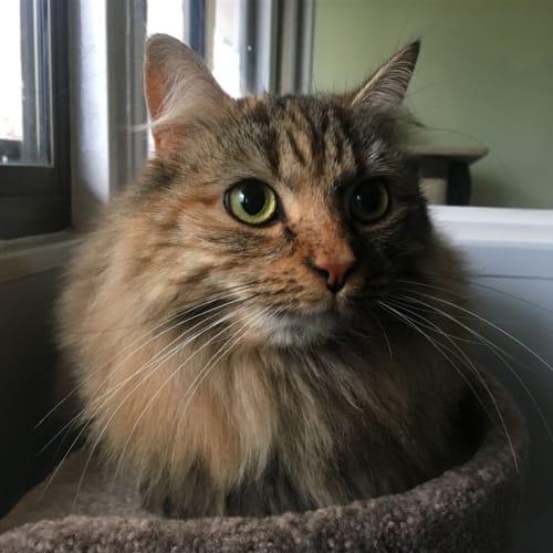 Roxy - Domestic Longhair Cat