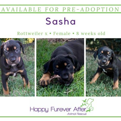 Sasha - Rottweiler Dog
