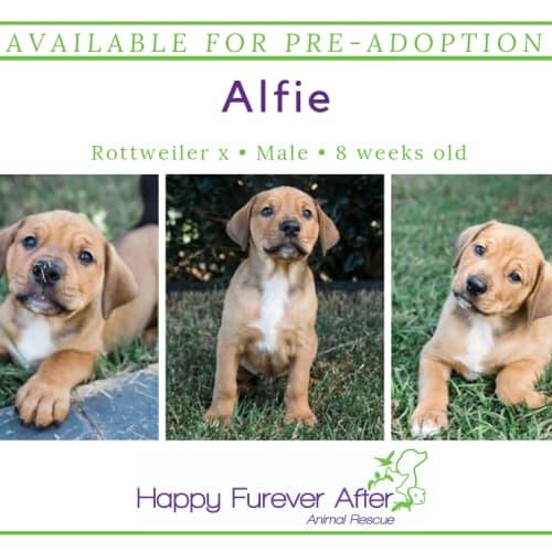 Alfie - Rottweiler Dog