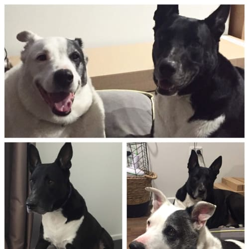 Beau & Rocky - Border Collie Dog