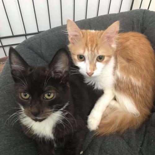 Bertie - Domestic Medium Hair Cat